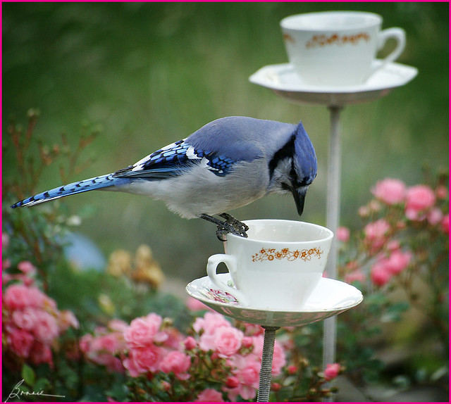 Mr. Bluejay is having tea in the rose garden