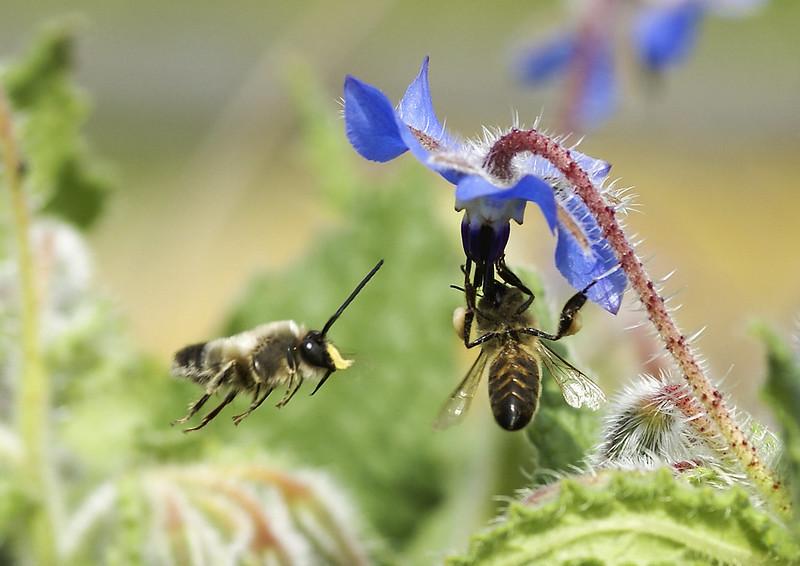 abella i borralla 02