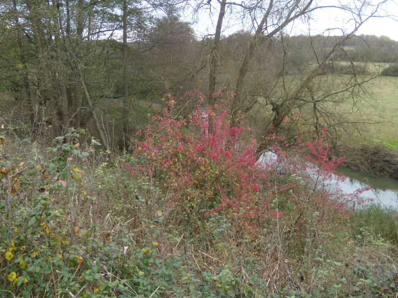 River Mole with spindle bush Dorking to Reigate