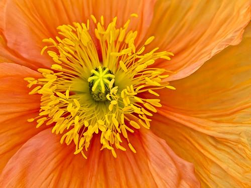 orange yellow flora poppy doublefantasy ahqmacro zenithaward floralfantasy12