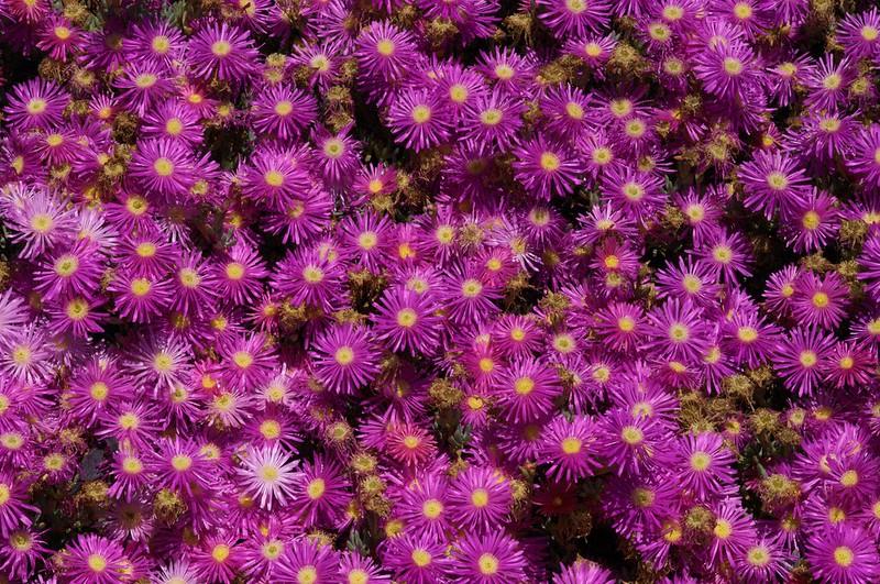 Mesembrianthemums - Tresco