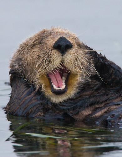 California Sea Otter | by Eliya