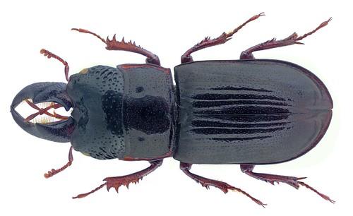Ceruchus chrysomelinus (Hochenwarth, 1775) Male | by urjsa