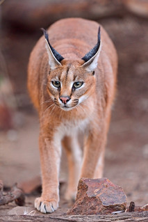 Walking caracal | by Tambako the Jaguar