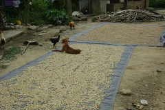 Drying the coffee. Dogs and chickens help out too.