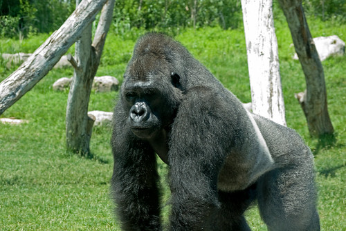 grass zoo gorilla ape kansas lowland lowlandgorilla sedgewickcountyks