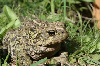 Toad 07 | by Jethro Taylor