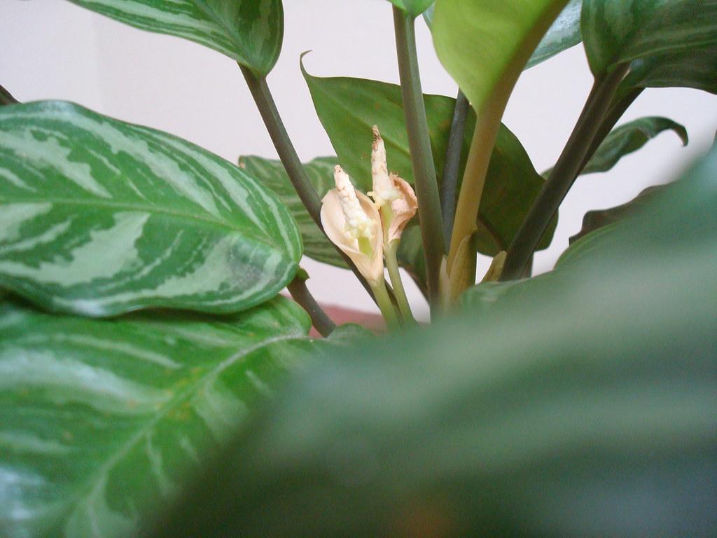 Bunga Sri Rejeki Sudah Agak Layu Tapi Masih Lumayan Bisa Dyahikameilani Flickr Gambar bunga sri rejeki