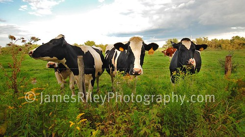 road grass woods cows farm woodstock perry bethel sigma1020mm nikond40 yasgurs woodstocknow woodstocktoday