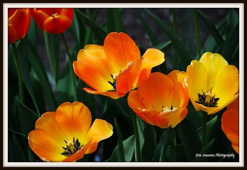 orange flower green yellow garden spring tulips cleveland blueribbonwinner bej goldenmix abigfave mayfieldvillage colorphotoaward nikond40x doniannone flowerwatcher goldstaraward flowersmacroworld 4mazingorgeoushotsoflowers awesomeblossoms simplythebest~flowers