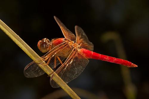 macro texas dragonfly roundrock ringflash canonef100mmf28usmmacro canoneos30d excapturemacro motleypixel royniswanger autumnmedowhawk