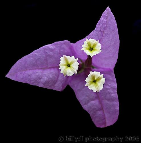 Flower Series | by billydl