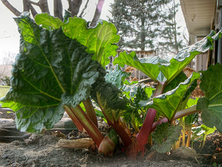 April 22 - rhubarb | by iowa_spirit_walker