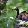 Blue-throated piping Guan (Pipile cumanensis) by crijnfotin