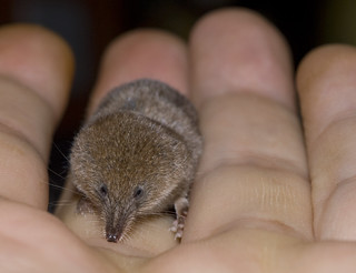 Pygmy Shrew | by minipixel