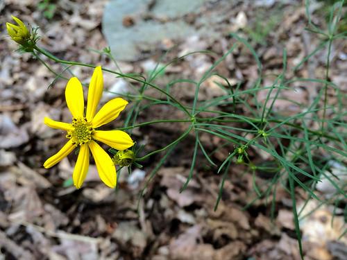 Coreopsis verticillata, Field Lark Branch, 6-7-15 | by FritzFlohrReynolds