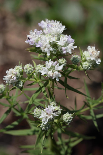 Virginia Mountain Mint | by capemaynativeplants