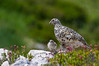 White-tailed Ptarmigan by Wes Aslin