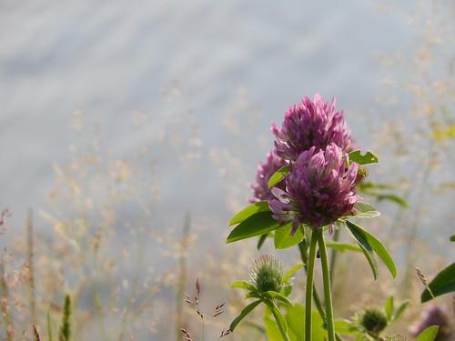 Sherbrooke - bloem