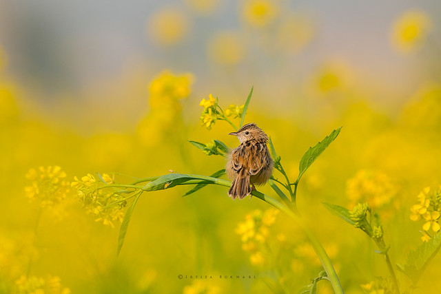 Zitting cisticola or streaked fantail warbler (Cisticola juncidis) in mustard flowers