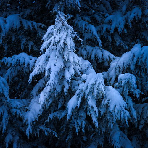 trees january snowcovered oregon winter dawn fallingsnow presunrise patterns bluelight cedar snowfall tree beaverton unitedstates us