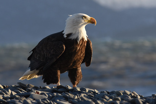 Eagle on the Homer Spit. Homer, Alaska | by Paxson Woelber