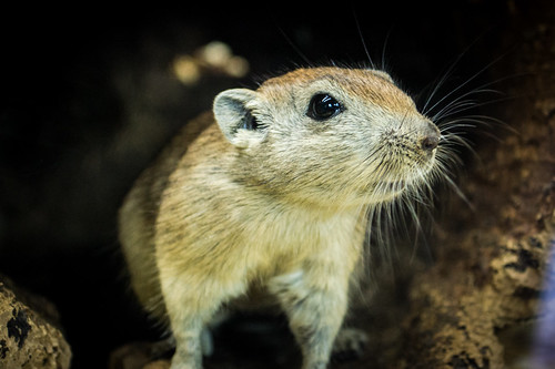 Gerbil Close Up | by makitdev