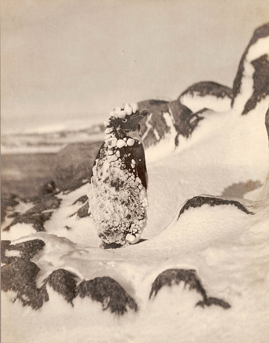 Frozen Adelie, Antarctica, 1911-1914 / photograph by Frank Hurley | by State Library of New South Wales collection