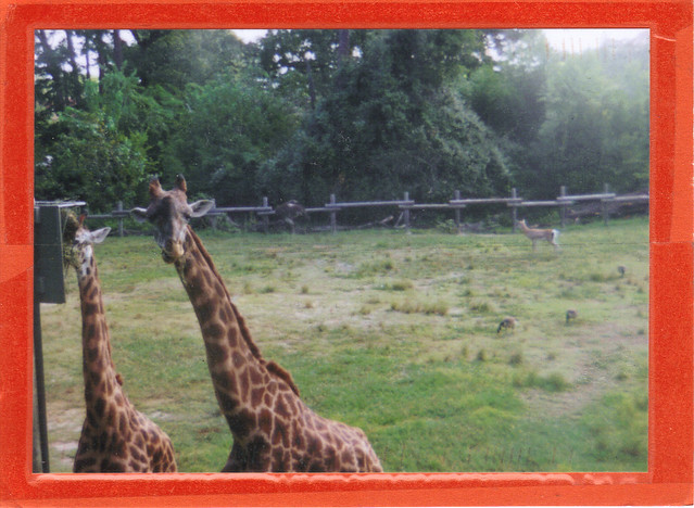 Giraffes Petting Zoo Postcard