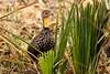 Yellow-necked Francolin - Samburu Kenya NH8O6407-24 by fveronesi1