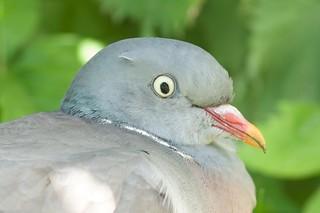 Garden Pigeon
