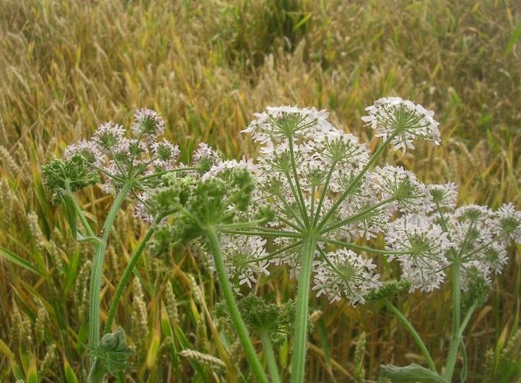 Hogweed against wheat Lewes to Berwick via West Firle