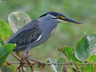 Striated Heron | by jvverde