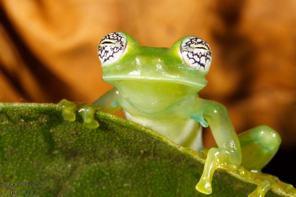 Pretty-eyed glass frog