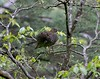 Female Gabot's Tragopan-Tragopan caboti at Wuyishan by Bram Demeulemeester - Birdguiding Philippines