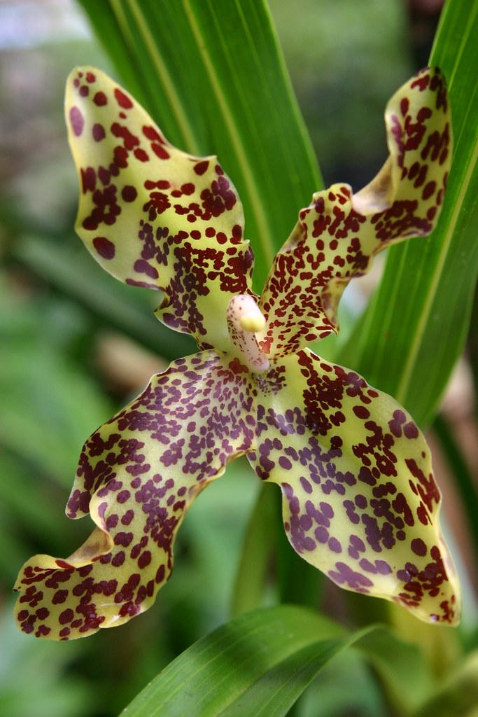 Orkid Harimau (Wild) | Cantik    kalau boleh semua orang ing… | Flickr