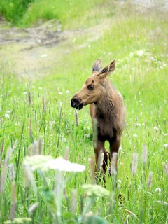 Baby Moose | by Schwebbie