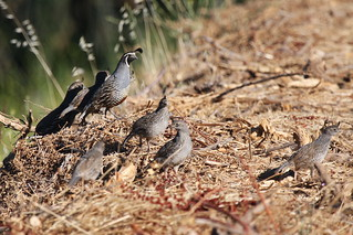 California Quail-IMG_5787-Grant Ranch-crop | by gimlack