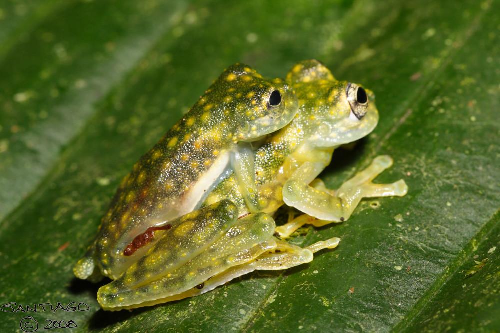 Maiting Cochran's Glass Frog