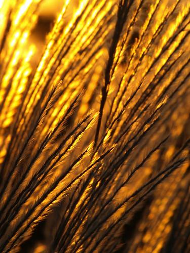 orange grass minnesota gold rochester grasses prairie bigblue settingsun ornamentalgrasses sooc abigfave cmwd cmwdorange