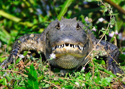 portrait flower smile river outdoors scary nikon florida teeth alligator flowerbed grin jupiter nikkor basking loxahatchee 70300 d60 naturesfinest repltile jonathandickinsonstatepark flickrdiamond lmaoanimalphotoaward dragondaggeraward