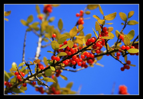 VIbrant Berries! | by BdwayDiva1