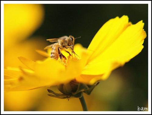 sunset flower yellow atardecer day father flor working bee fathersday abeja amarilla trabajando lastminute diadelpadre flowerpicturesnolimits wonderfulworldofflowers