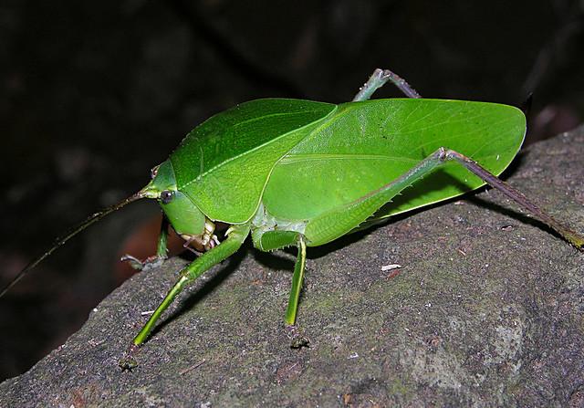 Bulky katydid, Montagne d'Ambre, Madagascar