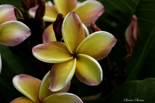 Frangipani in Flower Market (Explore) | by Swami Stream