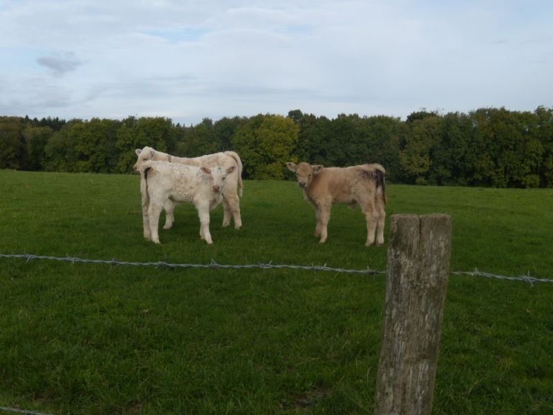 Levitating calves From the famous flying herd of Balcombe. Balcombe Circular via Ardingley Reservoir (summer walk)