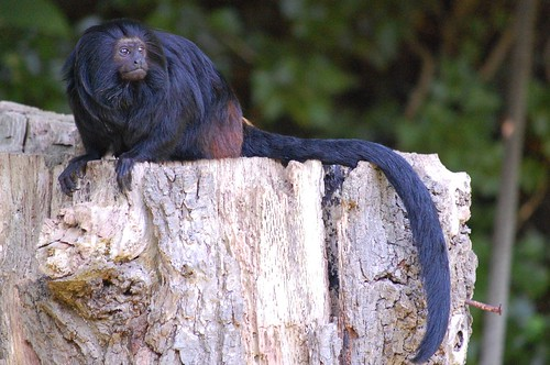 Durrell tamarin | by Ruth Flickr