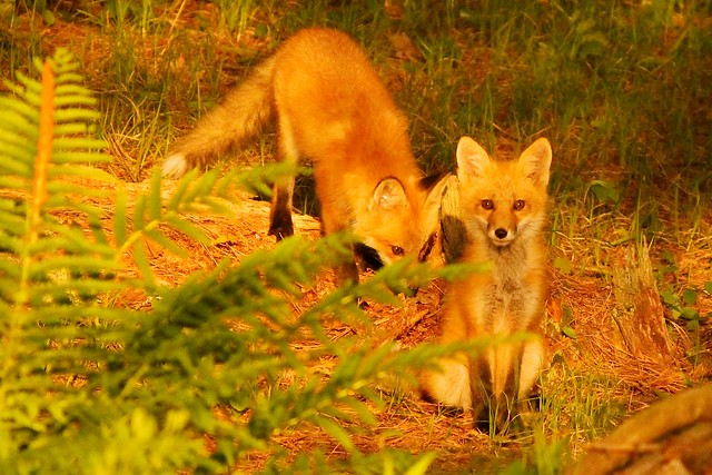 MAP2412 Fox Kits—Alert and Not
