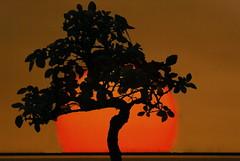 Bonsai with Sun   by A. Marques