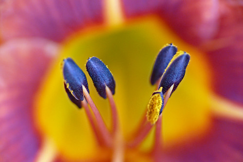 pink blue orange macro yellow lily bokeh tigerlily anther sklender auniverseofflowers